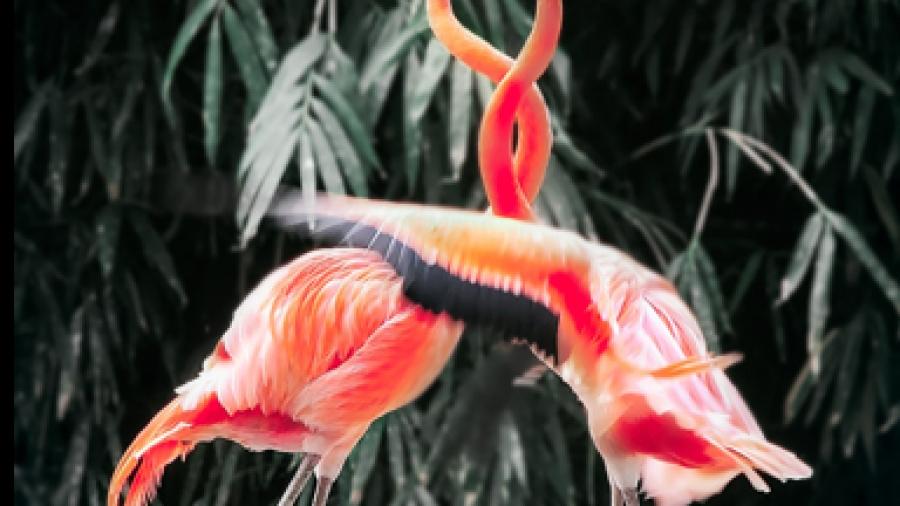 two-pink-flamingos-k
